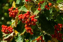 Red clusters of dew royalty free stock images