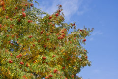 Red clusters of wild ash on a tree Royalty Free Stock Images