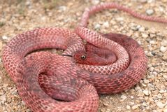 Red Coachwhip Snake Stock Photography