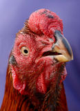 Red cock Royalty Free Stock Images