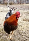 Red cock on dry right. In rural terrain by springtime Royalty Free Stock Photos