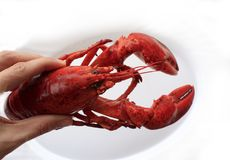Red cocked lobster. On the white plate macro Stock Photography