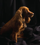 Red cocker spaniel on black background Stock Photo