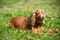 Red cocker spaniel lying on the grass while walking. Red cocker spaniel resting on grass in summer royalty free stock images