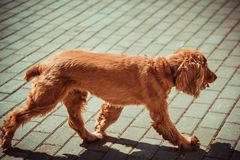 Beautiful cocker spaniel walking on the pavement in summer. Red cocker spaniel walking down the street in summer royalty free stock image