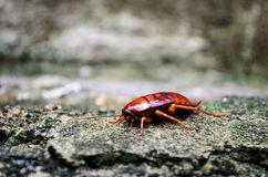 Red Cockroach Royalty Free Stock Photography