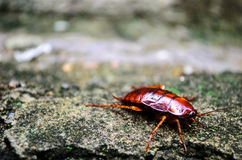 Red Cockroach Stock Photos