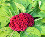Red Cockscomb or Celosia cristata flower Stock Photos