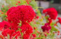 Red Cockscomb Royalty Free Stock Images