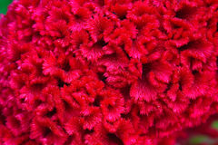 Red cockscomb of closeup background Stock Photo