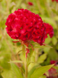Red cockscomb flower. Royalty Free Stock Photo