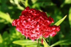 Red Cockscomb flower Stock Image