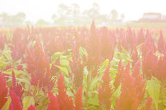 Red cockscomb flower Stock Photo