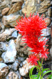 Red cockscomb flower Royalty Free Stock Image