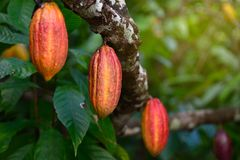Free Red Cocoa Pod Fruit Hanging On Tree Stock Photography - 126765862