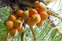Red Coconut Royalty Free Stock Photography