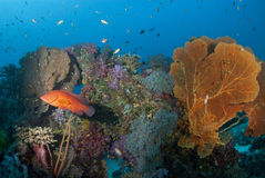 Red cod and seafan, Thailand. Stock Images