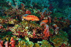 Red cod swiming around coral Royalty Free Stock Image