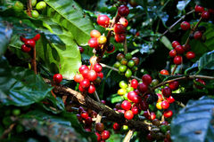 Red coffee bean. Royalty Free Stock Photos