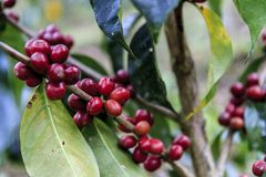 Red coffee bean in trees ready for harvest stock photography