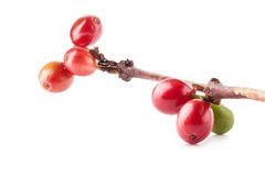 Red coffee beans on branch of coffee tree Stock Photos