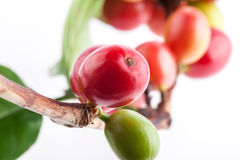 Red coffee beans on a branch of coffee tree Stock Photos