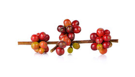 Red coffee beans on a branch of coffee tree on white background Royalty Free Stock Image