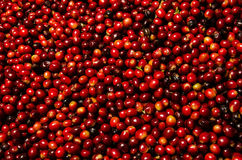 Red coffee beans Royalty Free Stock Image