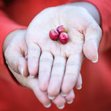 Red coffee beans on hand. Ripe coffee beans on the hands Royalty Free Stock Photos