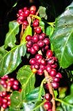 Red coffee beans on sunlight in the morning Royalty Free Stock Images