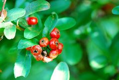 Red coffee beens on coffee tree. Arabica Royalty Free Stock Photo