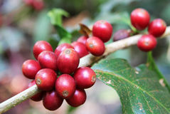 The red coffee berries closeup on a branch. Travel to Doi Suthep, Chiangmai, Thailand. The red coffee berries closeup on a branch Stock Image