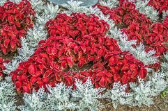 Red Coleus and Dusty Miller Plants Royalty Free Stock Image