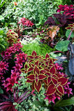 Red coleus and flower Royalty Free Stock Image