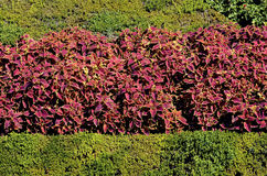 Red coleus flowers Royalty Free Stock Photography