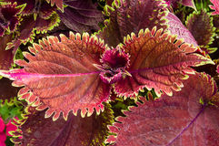 Red coleus leaves used as an ornamental Stock Photos