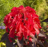 Red coleus Stock Photo