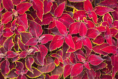 Red coleus plant close up Stock Images
