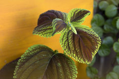 Red Coleus Royalty Free Stock Photography