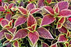 Red Coleus plant with yellow edges Royalty Free Stock Images