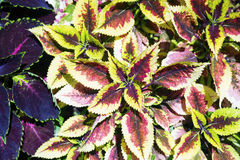 Red Coleus plant with yellow edges. A photo of a red Coleus plant with yellow edges Stock Photography