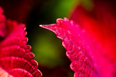 Red Coleus Plants in Garden Royalty Free Stock Photo