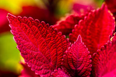 Red Coleus Plants in Garden Royalty Free Stock Photos