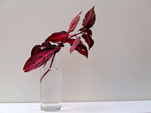 Red coleus rroting. Red coleus rooting in a glass Stock Photos