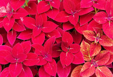 Red Coleus Stock Photography