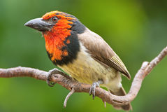 Red collared barbet adult male. On twig Stock Image