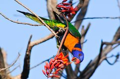 Red-collared lorikeet. Calvert River, Northern Territory, Australia: Red-collared lorikeet feeds on nectar of a Coral tree Erythrina in tropical savannah stock photography