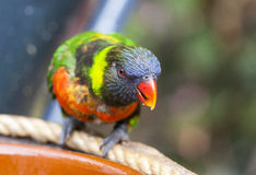 Red-collared Lorikeet Royalty Free Stock Photo