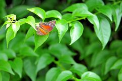Red Collie butterfly on green leaves Royalty Free Stock Image