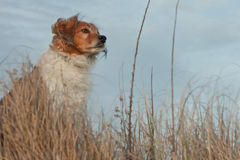Red collie type dog in ammophila marram grass at b Royalty Free Stock Images